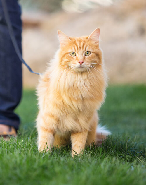 Orange cat on leash standing in grass